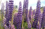 魯冰花,《魯冰花》的歌很多人都聽過,但有誰真正見過真花?
