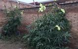 晉南農村10月開一種稀罕花,80歲老人也不認識,它竟有蔬菜王之稱