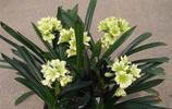 植物圖集:君子蘭植物美圖