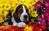 動物圖集:法國短腳獵犬巴吉度