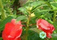 鳳仙花的作用與功效有哪些