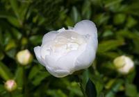 白芍藥在腎臟疾病中的應用,白芍藥的藥理作用