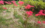 揚州瘦西湖的彼岸花