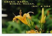 痔瘡的剋星萱草——陌上黃花開,別隻當做菜