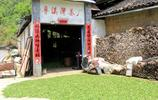 安徽黃山旅遊偶遇紅茶廠,親眼所見一片樹葉如何變成茶葉