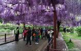 上海一半的大媽週末都要來這個紫藤園,你還敢來嗎?
