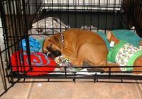 狗狗不喜歡籠子一直叫?這4個小技巧,讓狗狗安靜呆在籠裡