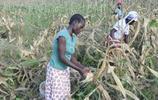 中國雜交玉米在非洲豐產,非洲人豎起大拇指,日本人執意索要種子