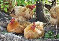 高效林下放養雞養殖關鍵技術