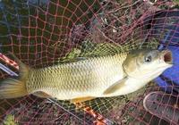夏季大草魚出沒,想要成功釣獲它們,試試這些民間釣法,很管用