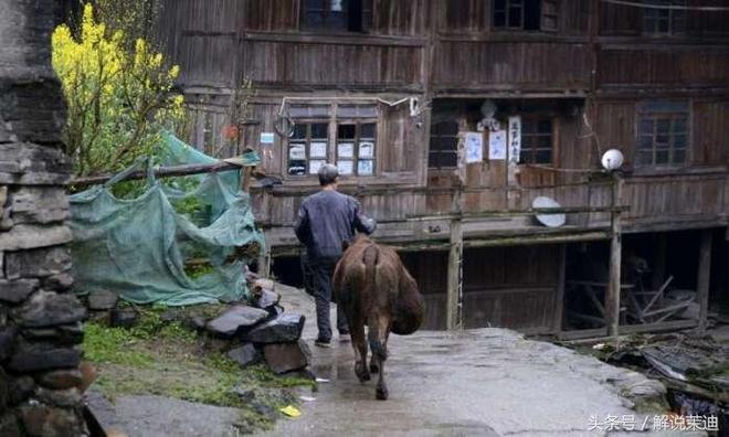 鏡頭下:聾啞老人養了15年的老黃牛,大老闆出100萬都不賣!