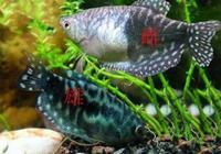 哪種觀賞魚適合和藍曼龍混養,不是說藍曼龍魚嘴很賤嗎?
