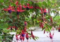 在家裡種植盆栽倒掛金鐘,需要怎麼養護呢,你可能不知道