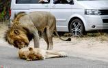 遊客南非街上實拍倆獅子躺馬路睡覺,致交通擁堵,引眾人圍觀