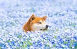 在花海中微笑的快樂柴犬