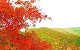 香山紅葉,滿山的紅!