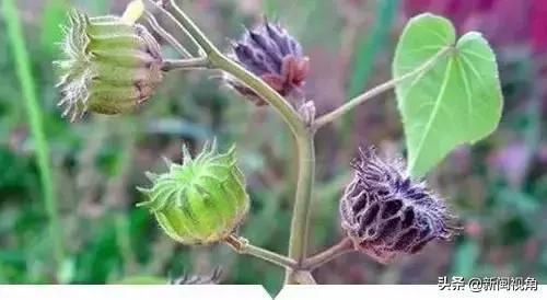 你小時候在農村常見又叫不上名的植物,看完就知道叫什麼了!