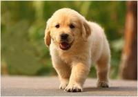 下雨天發現一隻散步的金毛,看到它穿的定製雨衣時,網友笑噴了!
