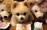 愛寵和毛絨娃娃誰更可愛?9張寵物趣圖讓你一瞬間看花眼了沒?