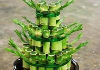 寶塔式富貴竹盆景養成方法