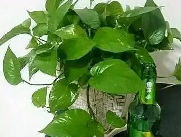 """綠蘿想養好,這2種""""水水""""少不了,遠離黃葉、爛根、葉片手掌大"""