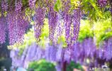 我國最美的紫藤花觀賞勝地,不僅好看,而且免費