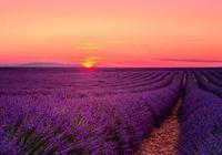 伊犁60000畝薰衣草,花開成海,美哭全世界