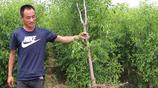 如果你家有空地,趕緊種上這種果樹,來年豐收季,說不定成有錢人