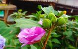 圖蟲風光攝影:雨後木槿