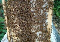 蜂王漿高產祕訣,如何採收蜂王漿呢?