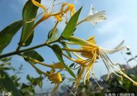 本草綱目養顏經之——金銀花