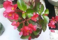 海棠、秋海棠的區別是什麼?