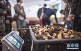 羊肚菌助農增收