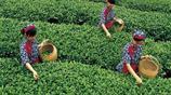 湖北十大名茶都出自哪兒?你的家鄉上榜了嗎?