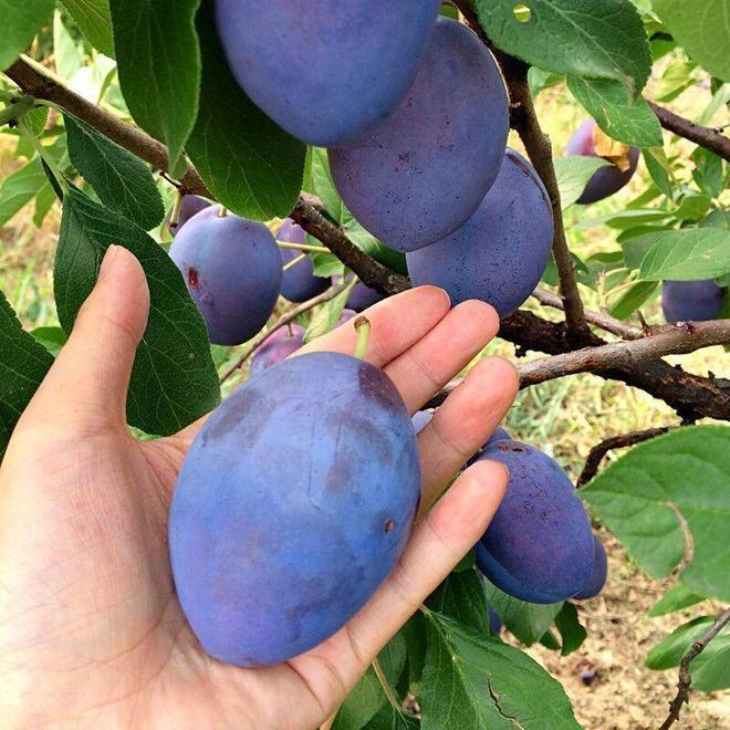 如果你家有空地,建議種這6種新型果樹,好打理,結果多,特好吃