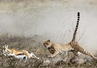 豹子捕獵到一頭羚羊卻不吃,羚羊以為豹子善心大發,沒想到它錯了