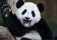 全球唯一被退貨的大熊貓,4年租期2年就回國,動物園:養不起!