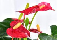 冬天就養這5種花,招財進寶鴻運當頭,紅紅火火過大年!