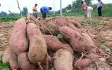 挖紅薯囉……挖紅薯囉