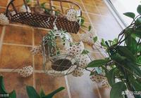 """一盆球蘭養了好幾年,從來不見花開,難道是""""公的""""?"""