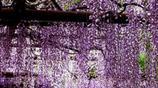 最適合懶人種的九種花卉爬藤,不僅容易養活,還很容易爆棚