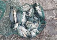 釣魚多年,才知道酒米的正確製作方法,一年四季離不了的好窩料