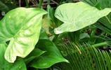 海芋一次種植可觀賞多年,可治肺結核、風溼關節炎、氣管炎、流感