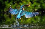 動物圖集:小巧的青鳥