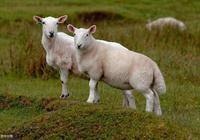 """再熬三天:家有羊羊,春節""""偷著樂"""",2月3日迎來""""大逆襲"""""""