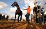 利比亞:拍賣馬匹