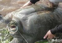 農村水庫裡有幾隻臉盆大的老鱉,有什麼好方法釣上來?