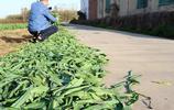 農村遺棄的蔬菜葉子,城裡人視為稀罕物,你吃過這樣的美食嗎?