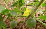 這種瓜要出名了:農民朋友可以嘗試規模化種植,說不定就發家致富了呢!