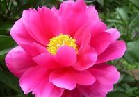 三農:芍藥的種植方式,如何保障芍藥優良生長?
